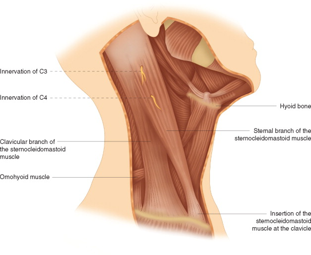 Trapezius Muscle An Overview Sciencedirect Topics