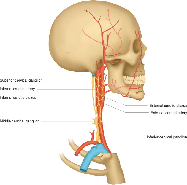 Cervical Ganglia An Overview Sciencedirect Topics