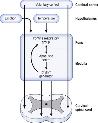 Control of Breathing - an overview   ScienceDirect Topics