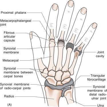 Terrific Interphalangeal Joint An Overview Sciencedirect Topics Wiring Cloud Cosmuggs Outletorg