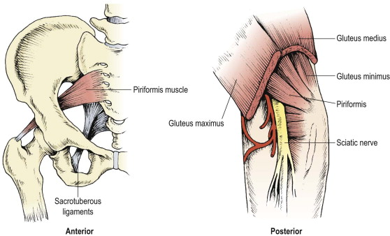 Piriformis Muscle An Overview Sciencedirect Topics