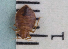 Bed Bug Infestation - an overview | ScienceDirect Topics