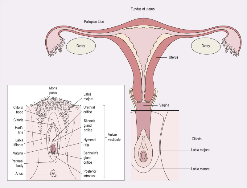 Female Genitalia An Overview Sciencedirect Topics