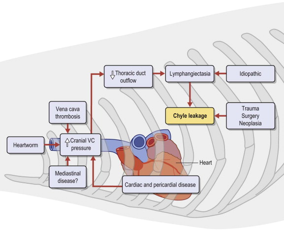 Chyle - an overview | ScienceDirect Topics