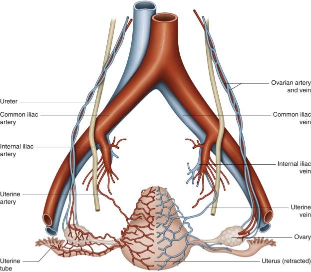 Uterine Artery - an overview | ScienceDirect Topics