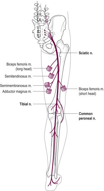 Peroneus Nerve Paralysis - an overview   ScienceDirect Topics