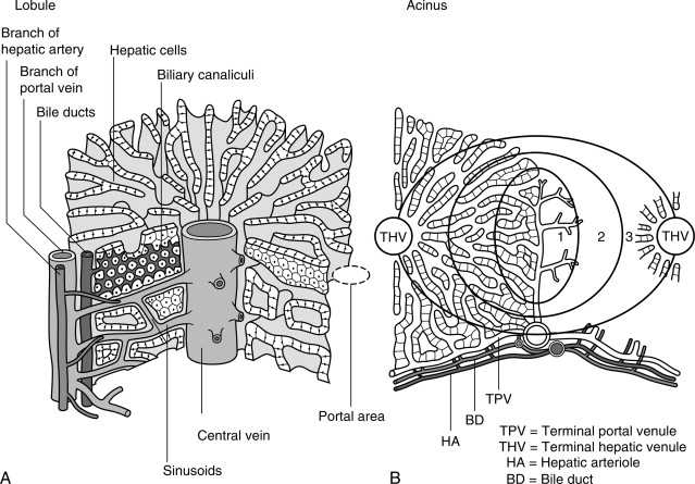 Microscopic Anatomy An Overview ScienceDirect Topics