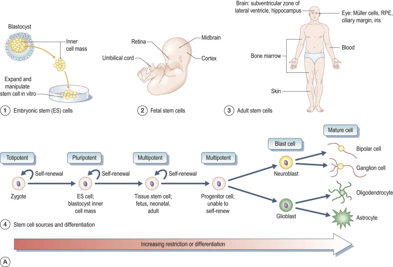 Stem Cell - an overview | ScienceDirect Topics