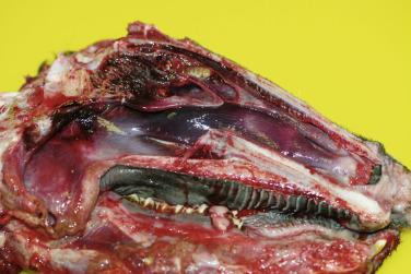 nasal bot larvae