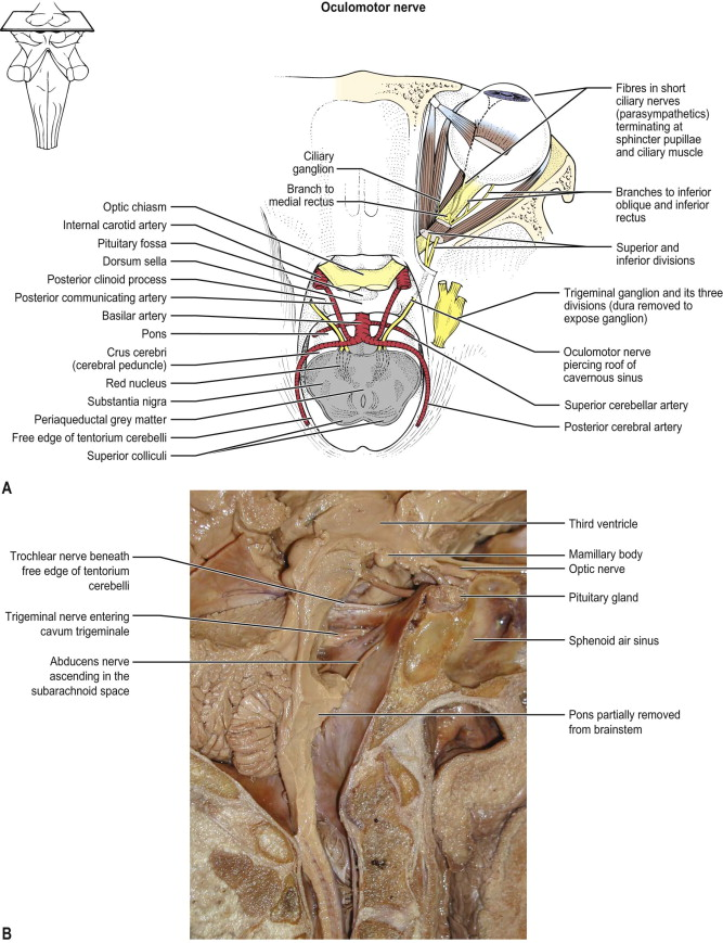 Cranial Nerves An Overview Sciencedirect Topics