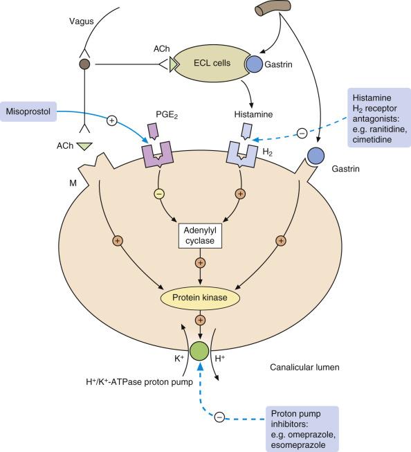 Acid Secretion - an overview | ScienceDirect Topics
