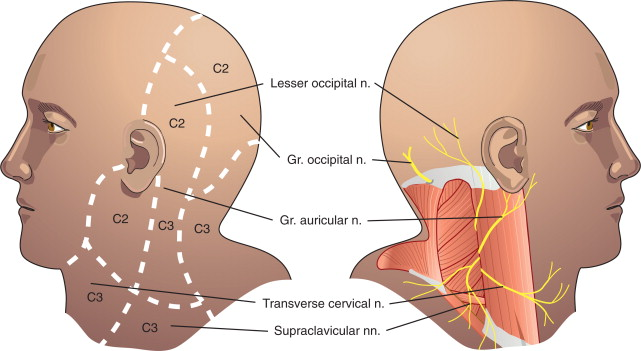 Suboccipital Nerve - an overview   ScienceDirect Topics