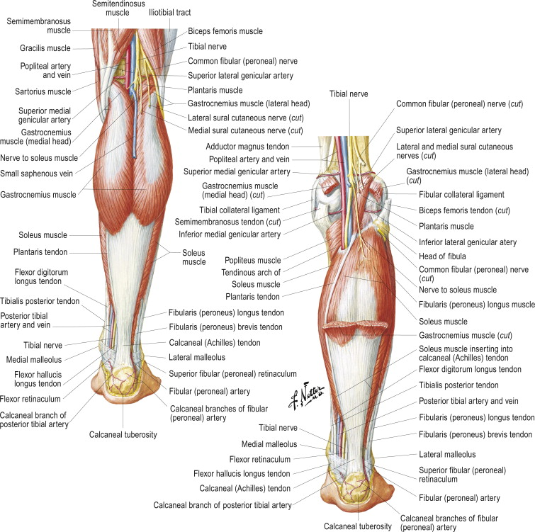 Adductor Magnus Muscle An Overview Sciencedirect Topics