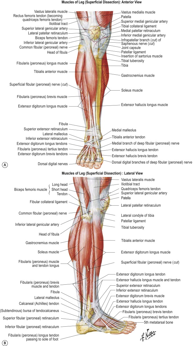 Flexor Digitorum Longus Muscle An Overview Sciencedirect Topics