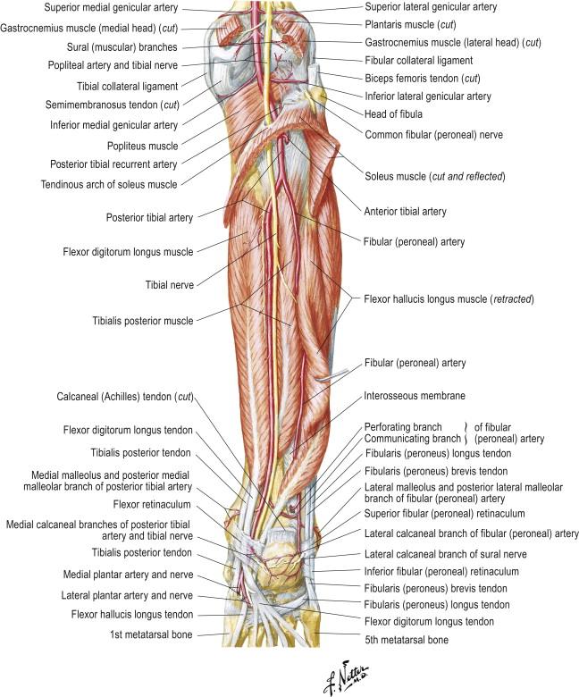 Flexor Digitorum Longus Muscle An Overview Sciencedirect Topics