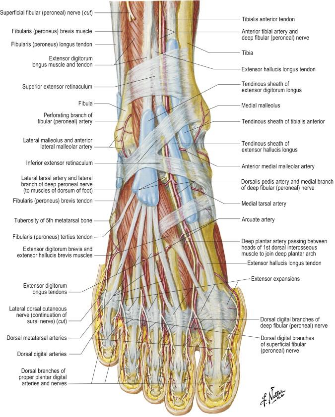 Dorsalis Pedis Artery An Overview Sciencedirect Topics