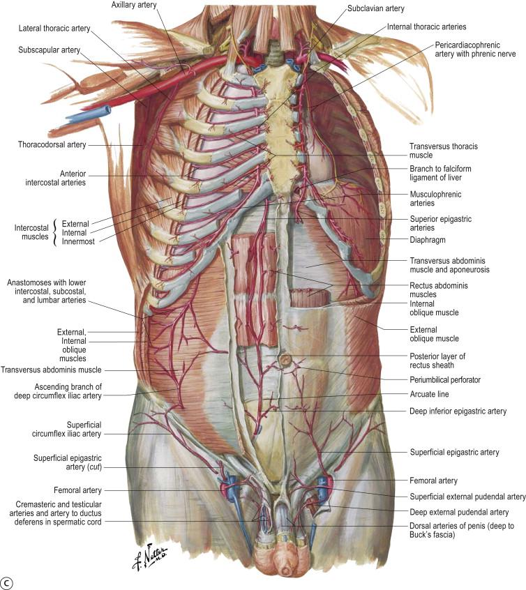 Vascular Anatomy An Overview Sciencedirect Topics