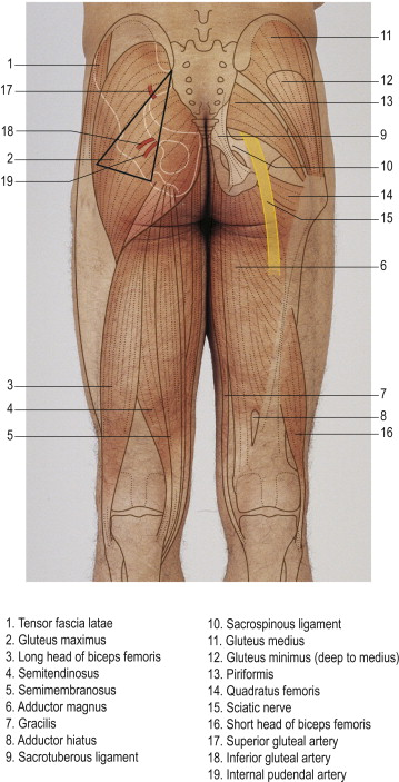 muscles of the gluteus an overview sciencedirect topics