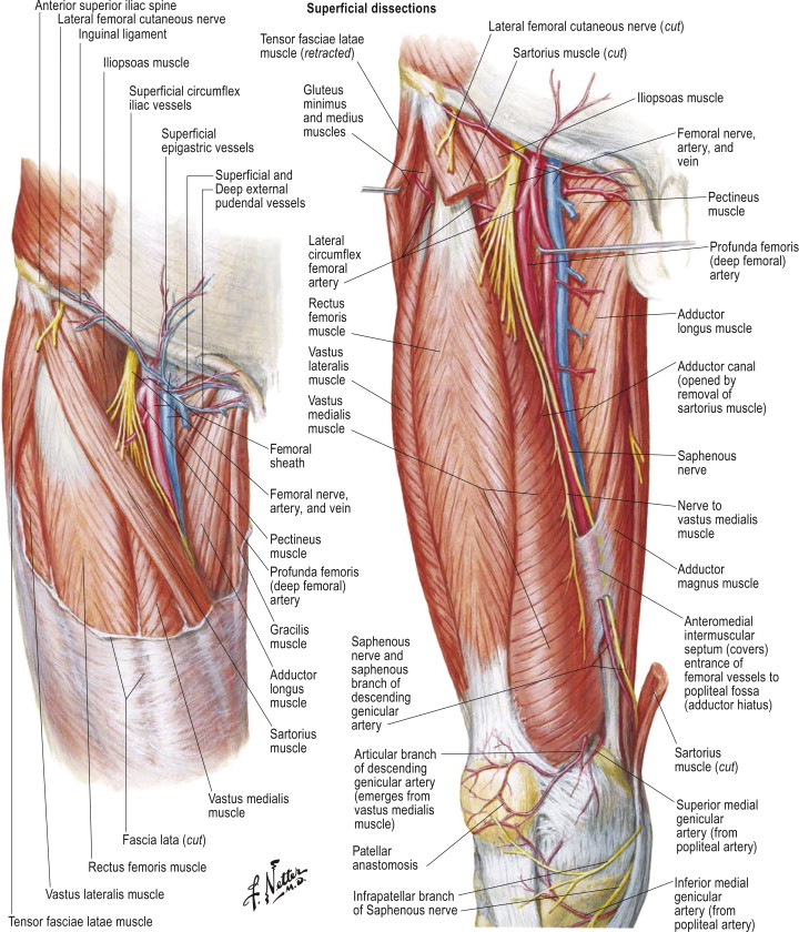 Adductor Longus Muscle An Overview Sciencedirect Topics