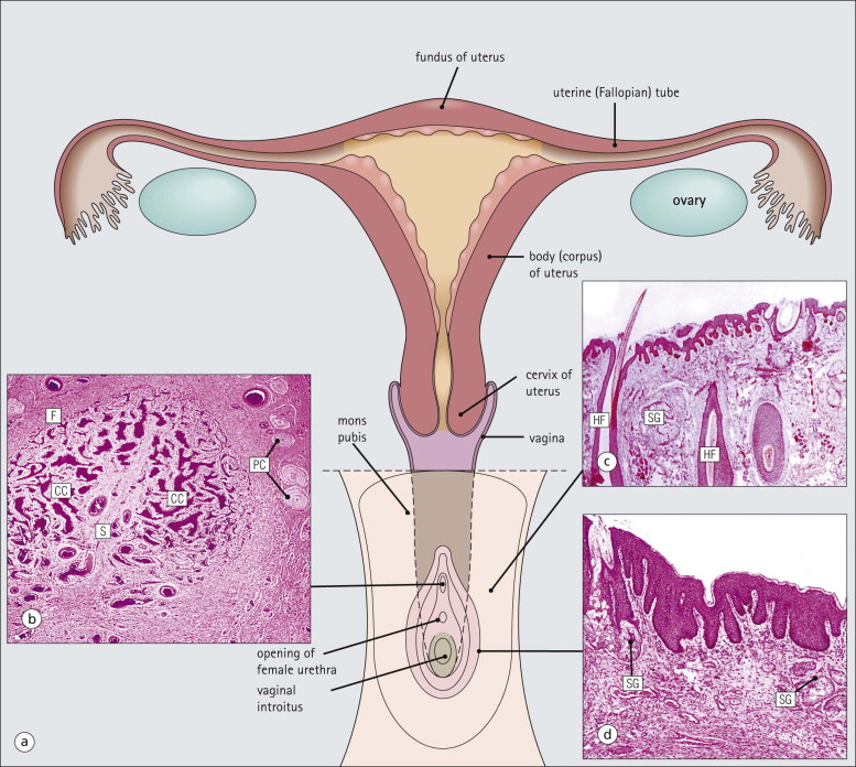 Female Reproductive System An Overview Sciencedirect Topics