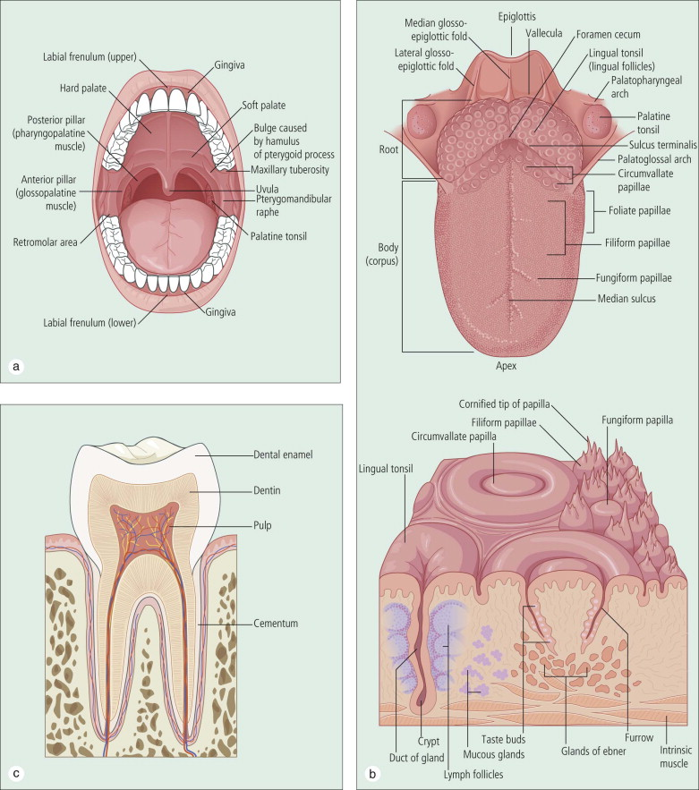Oral Cavity An Overview Sciencedirect Topics