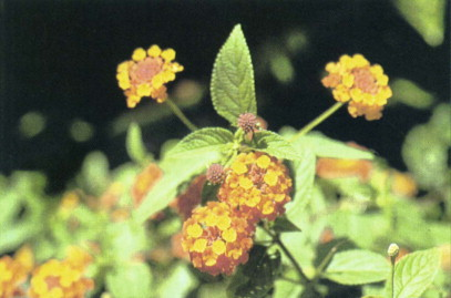 Lantana Camara An Overview Sciencedirect Topics