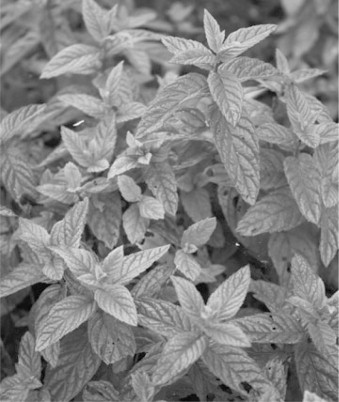Mint - an overview | ScienceDirect Topics