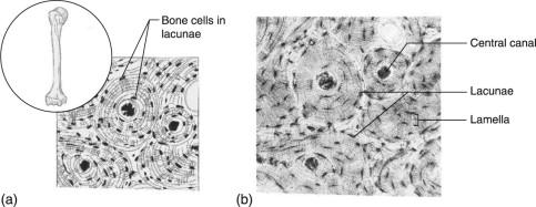 Bone Tissue An Overview Sciencedirect Topics