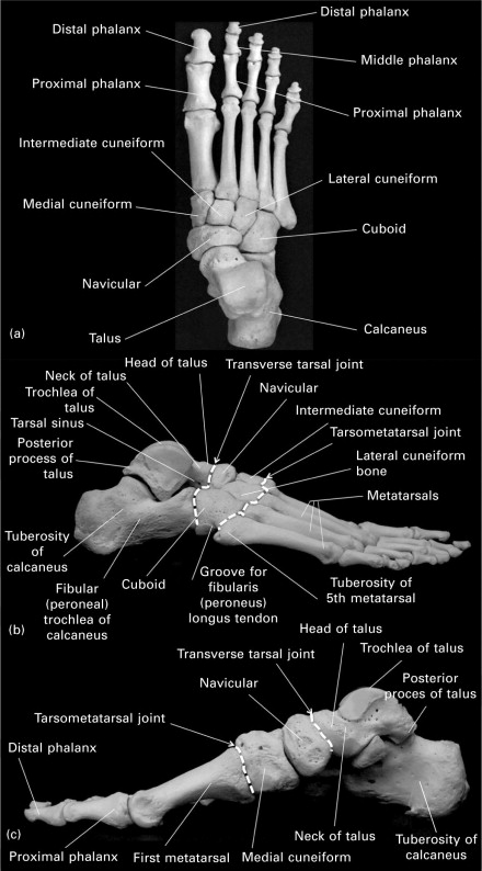 The Anatomy Of The Human Foot Sciencedirect