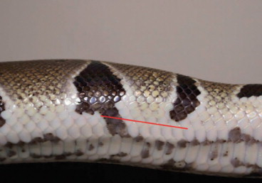 Dorsal Scales - an overview | ScienceDirect Topics