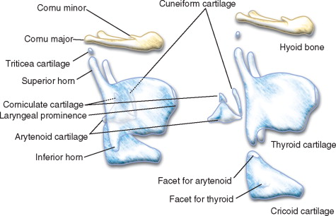 cuneiform cartilage an overview sciencedirect topics
