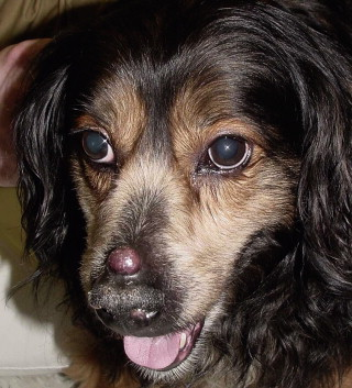 Canine Transmissible Venereal Tumor An Overview Sciencedirect Topics