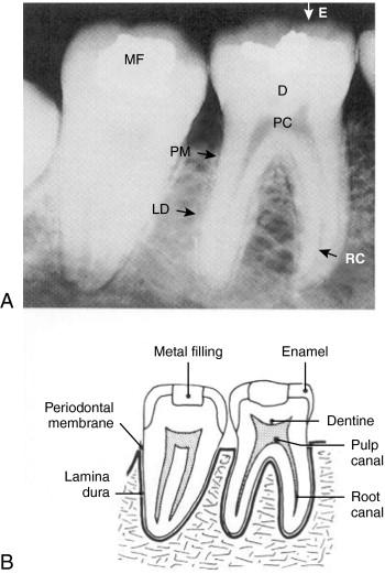 Dental Anatomy An Overview Sciencedirect Topics