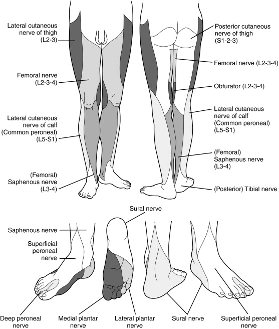 Lateral Sural Cutaneous Nerve An Overview Sciencedirect Topics