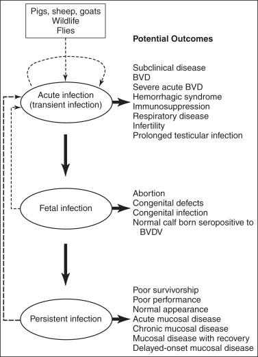 Bovine Viral Diarrhea Virus: Diagnosis, Management,and Control