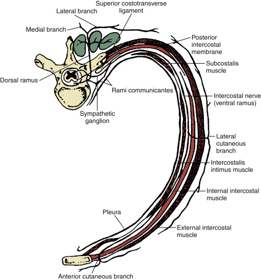 Thoracic Nerves An Overview Sciencedirect Topics