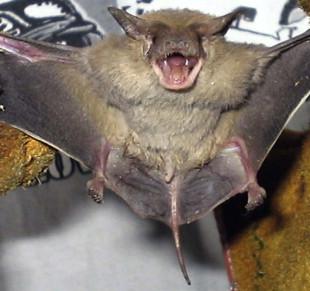 Bat - an overview | ScienceDirect Topics