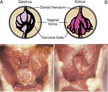 Barrier between uterus and vagina in the mare