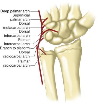 flexor carpi ulnaris muscle an overview sciencedirect topics