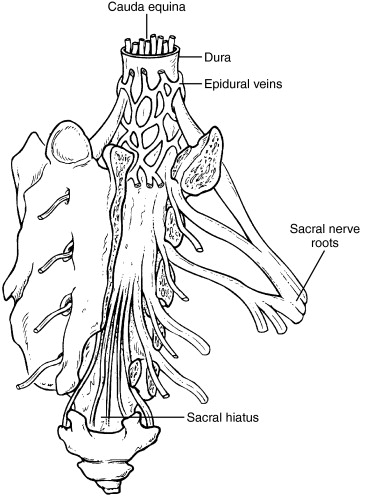 Coccygeal Nerve
