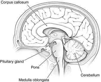 what does the medulla oblongata do in the brain