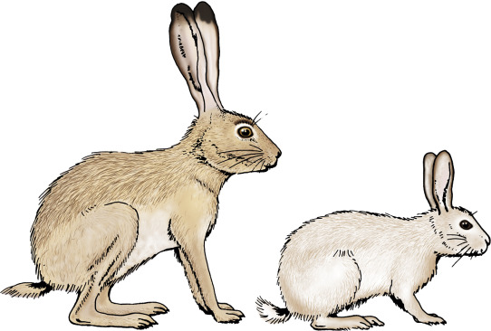 Leporidae - an overview | ScienceDirect Topics