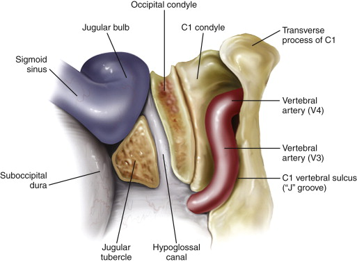 occipital condyle an overview sciencedirect topics