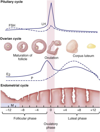 Follicular Phase - an overview | ScienceDirect Topics