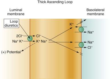Loop of Henle - an overview | ScienceDirect Topics