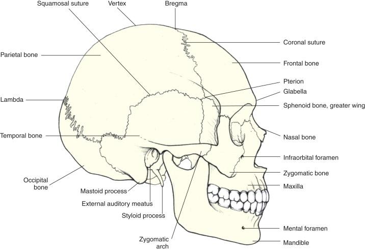 Parietal Bone An Overview Sciencedirect Topics