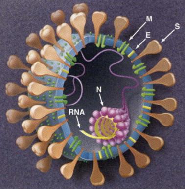 Coronaviridae - an overview | ScienceDirect Topics