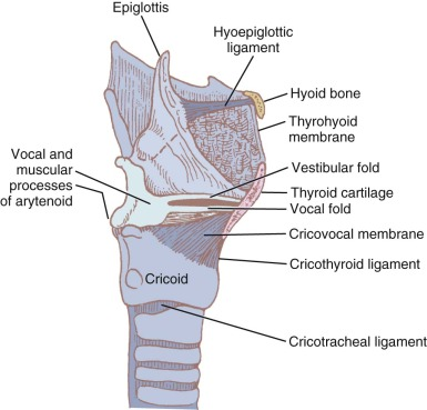 oblique line of thyroid cartilage an overview sciencedirect topics