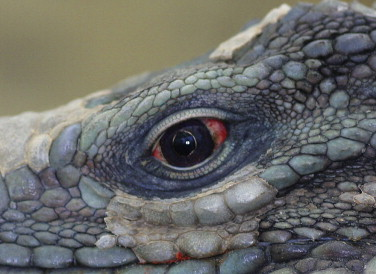 Iguana asexual reproduction in fungi
