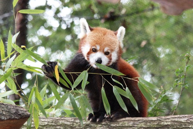 Red Panda - an overview   ScienceDirect Topics